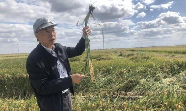 探访江苏盐碱地水稻收割:废弃盐田上生长出高产粮